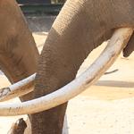 象牙の種類