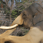 象牙の価値