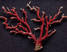 血赤珊瑚 原木