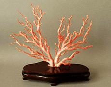 桃珊瑚 原木
