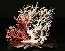 白珊瑚・血赤珊瑚 原木