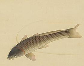 福田平八郎 鯉